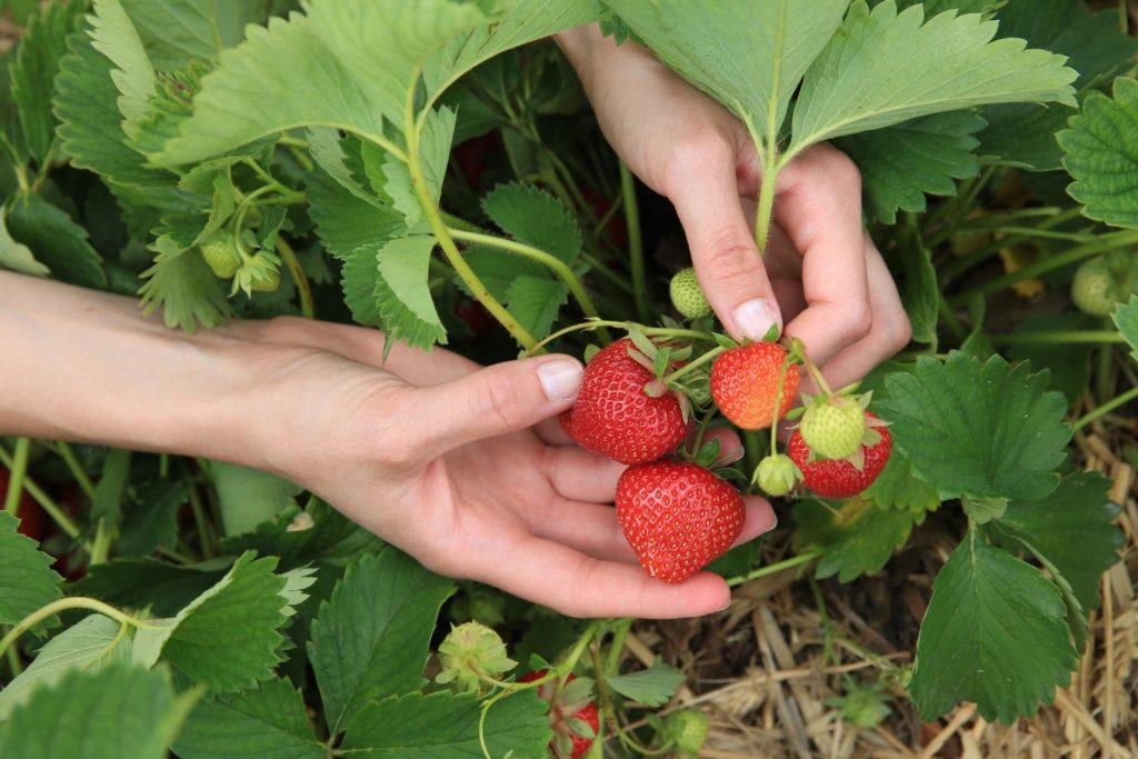erdbeerenpflanzen