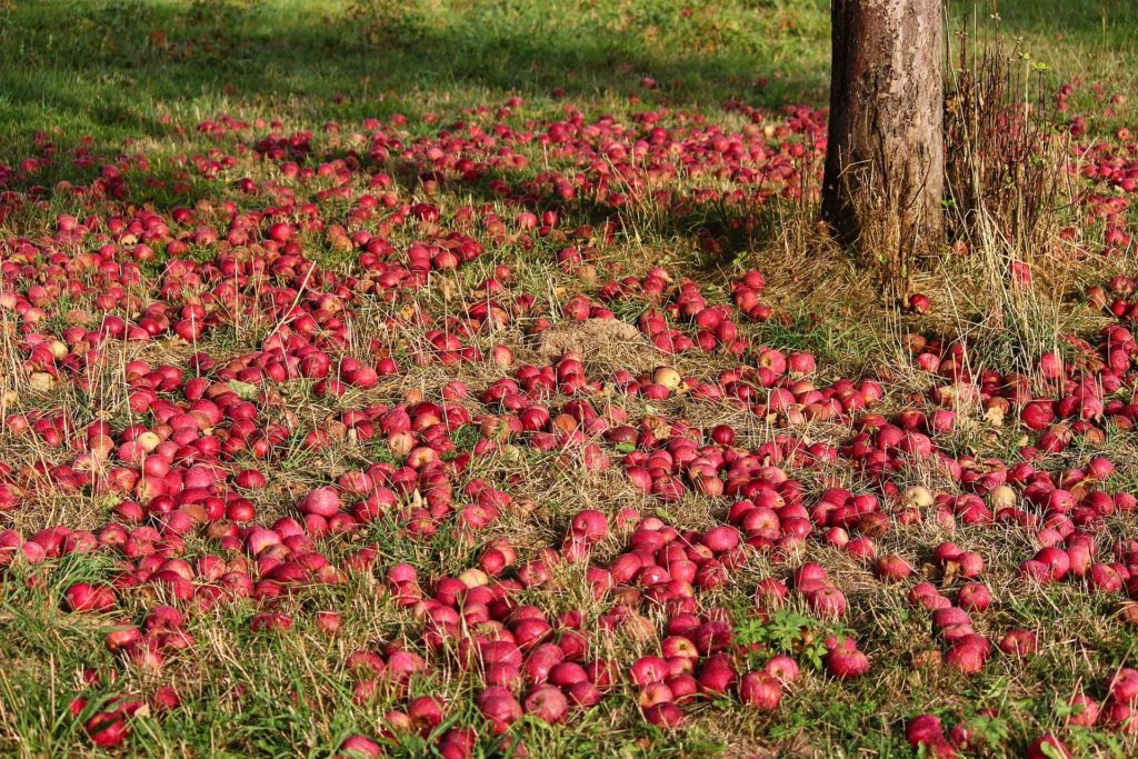 Obstbäume zurückschneiden