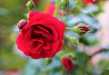 Frühjahrsschnitt für Rosen